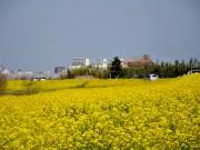 菜の花(荒川河川敷)