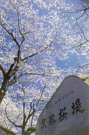 熊谷さくら祭_03